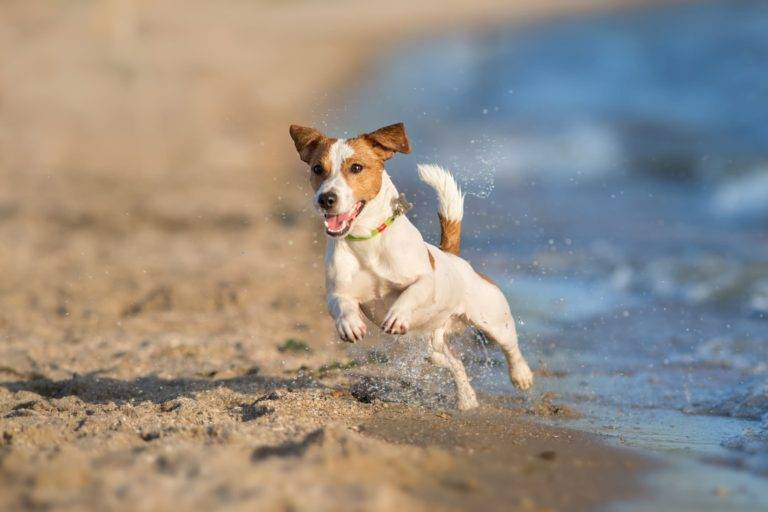 jack russel dog running on beach
